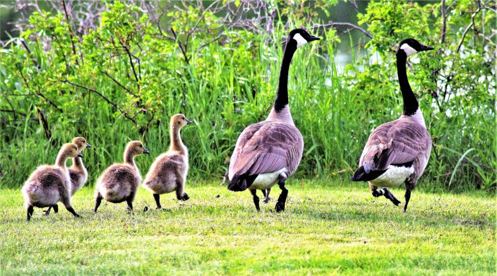 """Mother Goose & Goslings"", by Wendy Riley. Taken at Cape Breton NS."