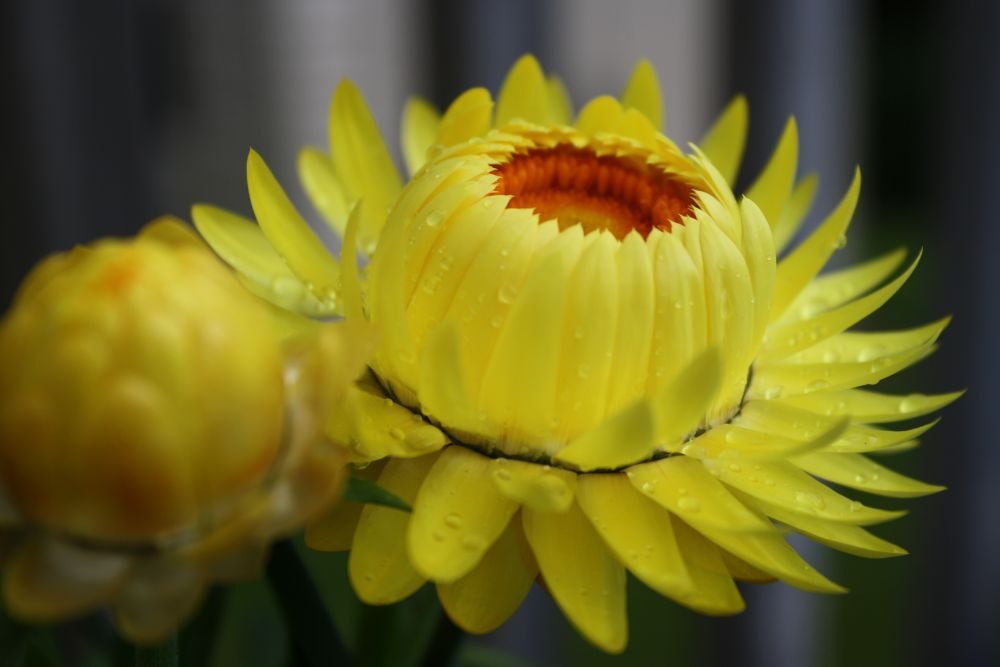 """Nana's strawflower"", by Melanie Colwell. Taken at Frosty Hollow NB."