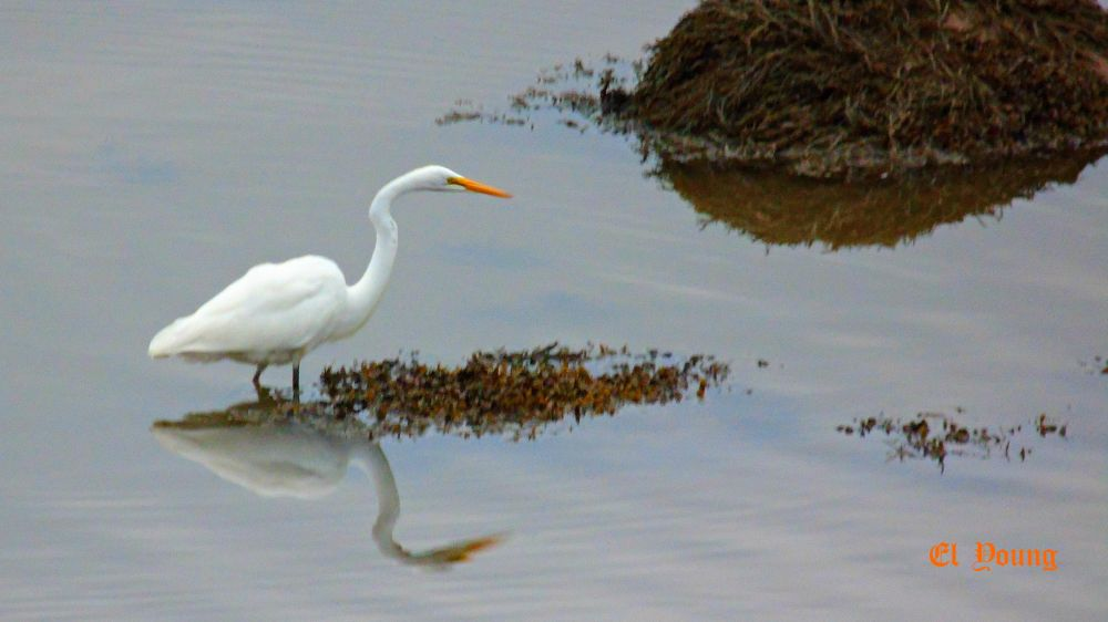 """Great White Egret"", by Elva Young. Taken at Oak Haven, N.B.."