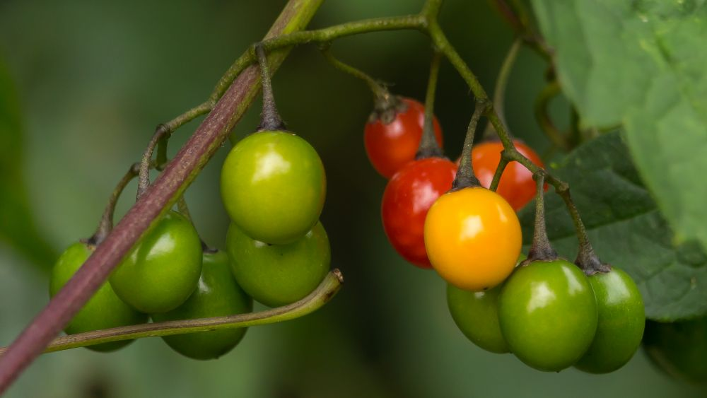 """Woody Nightshade Berries"", by Tom Mason. Taken at St George, NB."