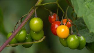 Woody Nightshade Berries by