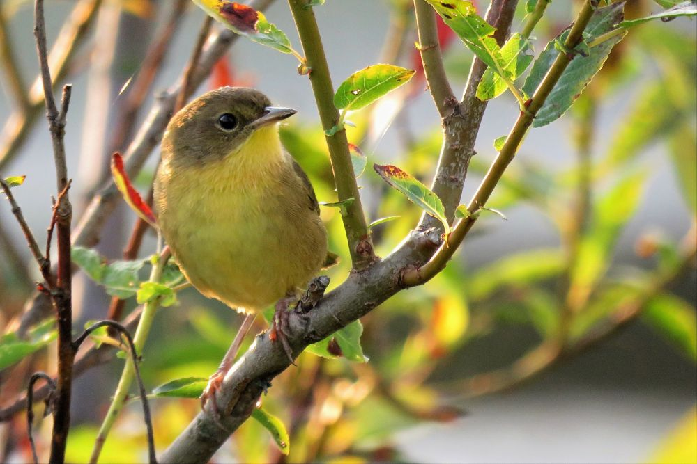 """Common Yellowthroat (a warber) loving the sunshine"", by Dorothy Chase. Taken at Jacksonville, New Brunswick."