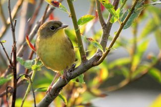 Common Yellowthroat (a warber) loving the sunshine by