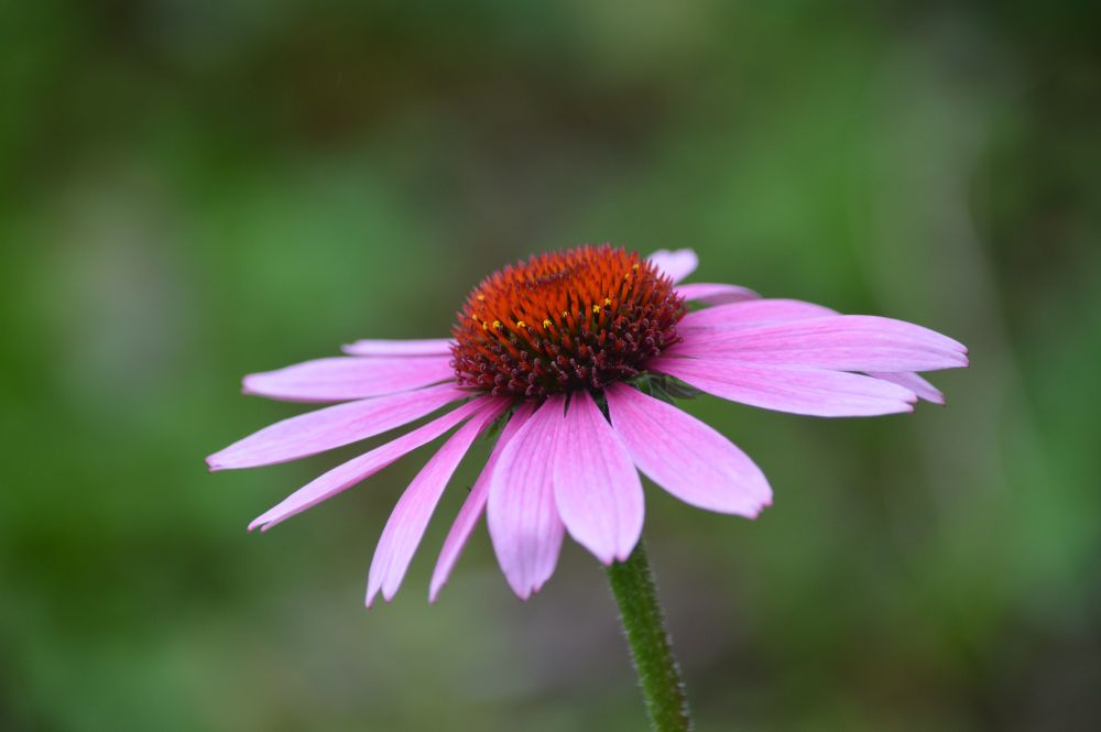 """Purple Cone Flower"", by Robert Long."