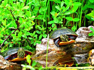 Twin turtles by
