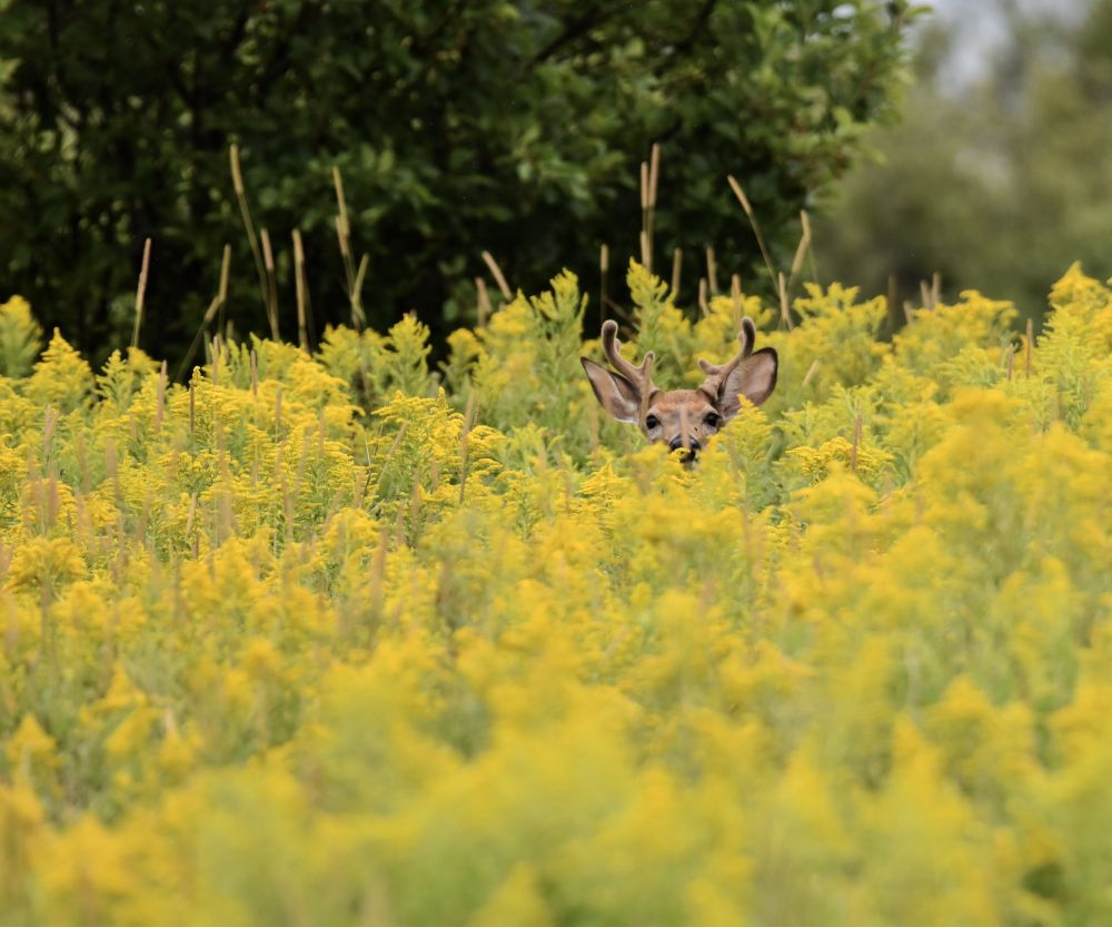 """""""White Tailed Deer In The Yellow Field"""", by Saffron Keeble. Taken at Malagash, NS."""