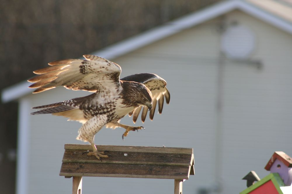 """Hawk on my feeder"", by Leo Caron. Taken at Dorchester NB."