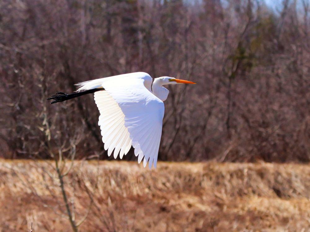"""Great Egret"", by Catherine Hamilton. Taken at Salisbury, N.B.."