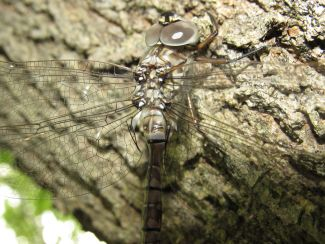 Dragonfly by