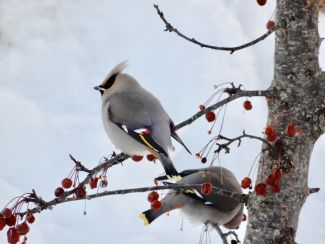 WAXWING COLORS by