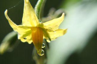 Tomato Blossom by
