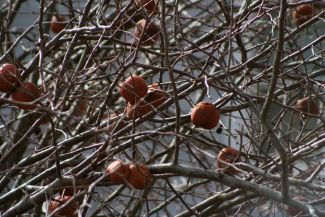 Winter apples by