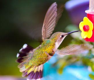 Hummingbird by
