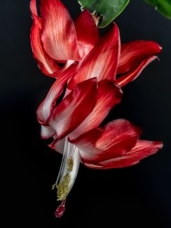 Christmas Cactus-1 by