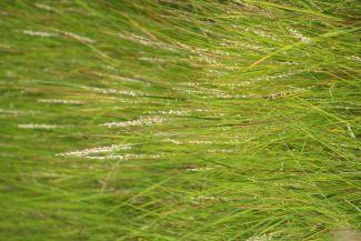 Marsh Grass by