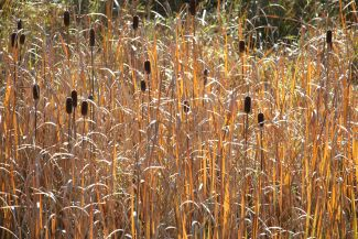 Cattails by