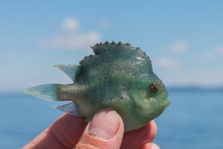 Lumpfish in Passamaquoddy Bay by