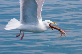 Gull nabbing a squid by