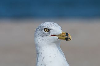 Portrait of a gull by