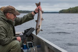 A sampled grisle returned to the Miramichi by