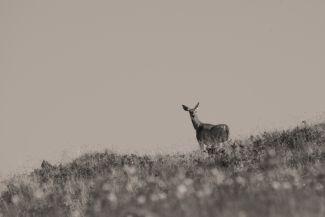 A Deer, a Female Deer by