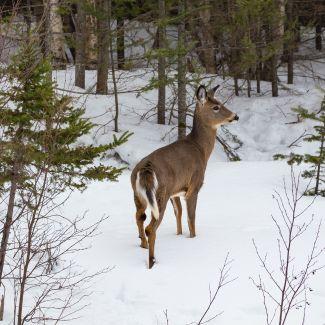 Deer in Snow at Meductic by