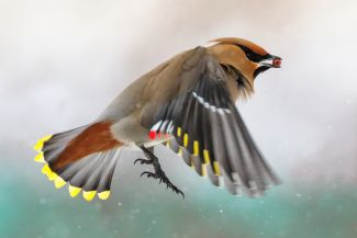 Bohemian Waxwing by