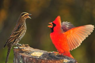 Angry Birds by