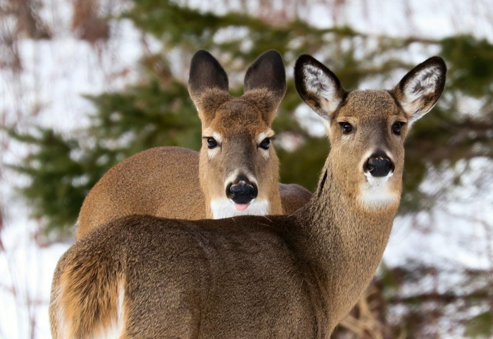 """Sassy Deer"", by Catherine Hamilton. Taken at Petitcodiac, N.B.."