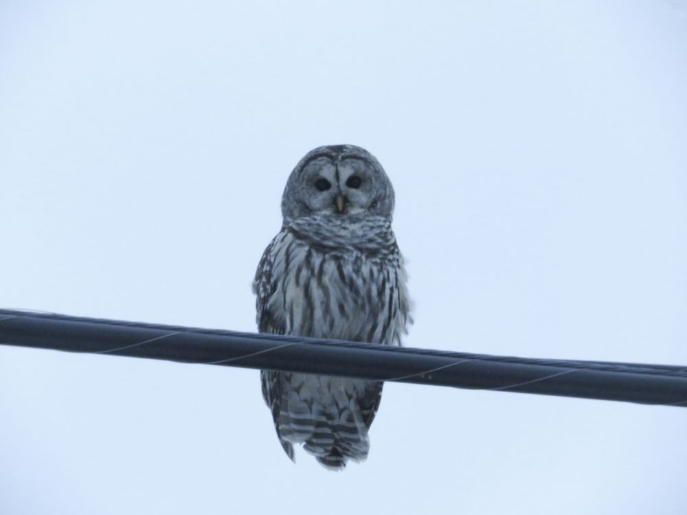 """""""What are you looking at? -Barred Owl"""", by Katherine MacLeod. Taken at Christmas Island, NS."""