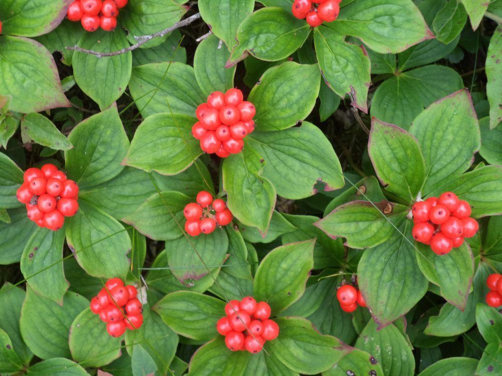 """""""Pigeon Berries"""", by Anita Daye. Taken at Lake Charlotte, NS."""