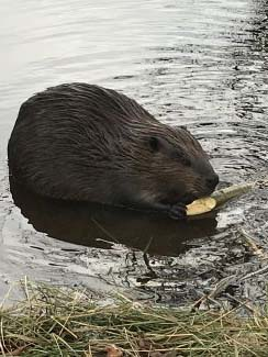 Beavers by