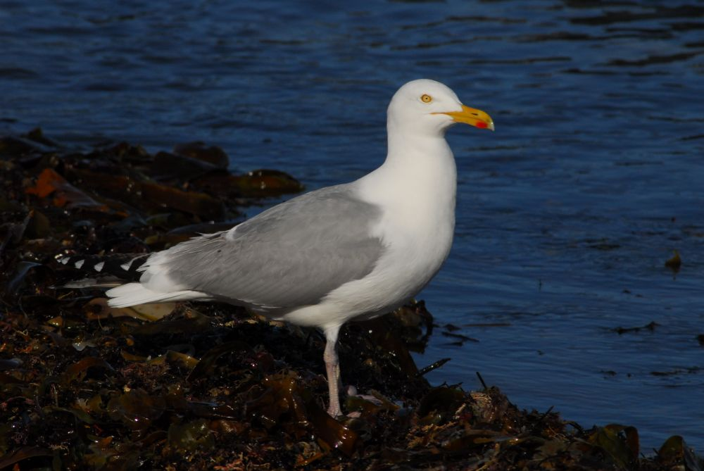 """""""Seagull"""", by G. NEARING. Taken at YARMOUTH CO. N.S.."""