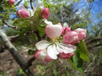 Apple Blossoms by