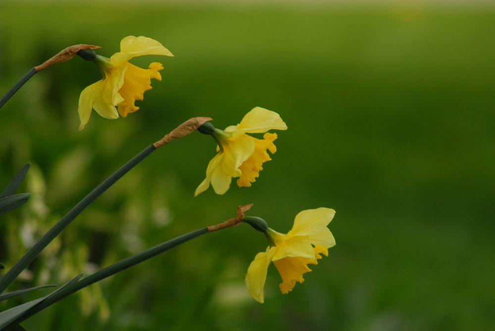 """""""Daffodils"""", by G. NEARING. Taken at Yarmouth."""
