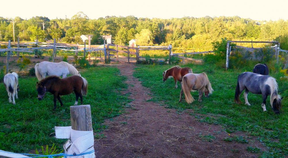 """""""N.S Ponies at Days End"""", by Deborah Peever. Taken at A Farmstead near Stewiacke N.S."""