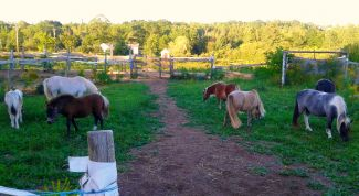 N.S Ponies at Days End by