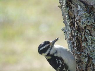 Woodpecker by
