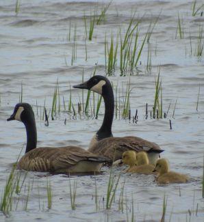 3 Baby Goslings by