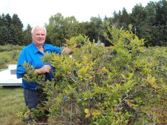 High bush blueberry picking by