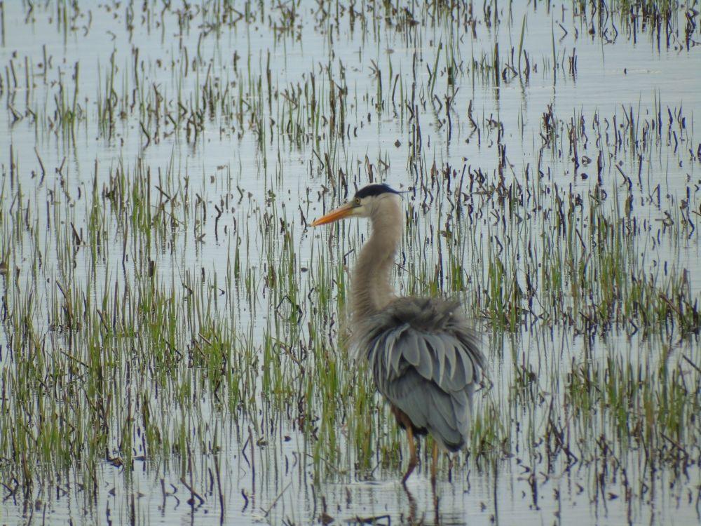 """Caribou Crane"", by Paula Raynard. Taken at Caribou NS."