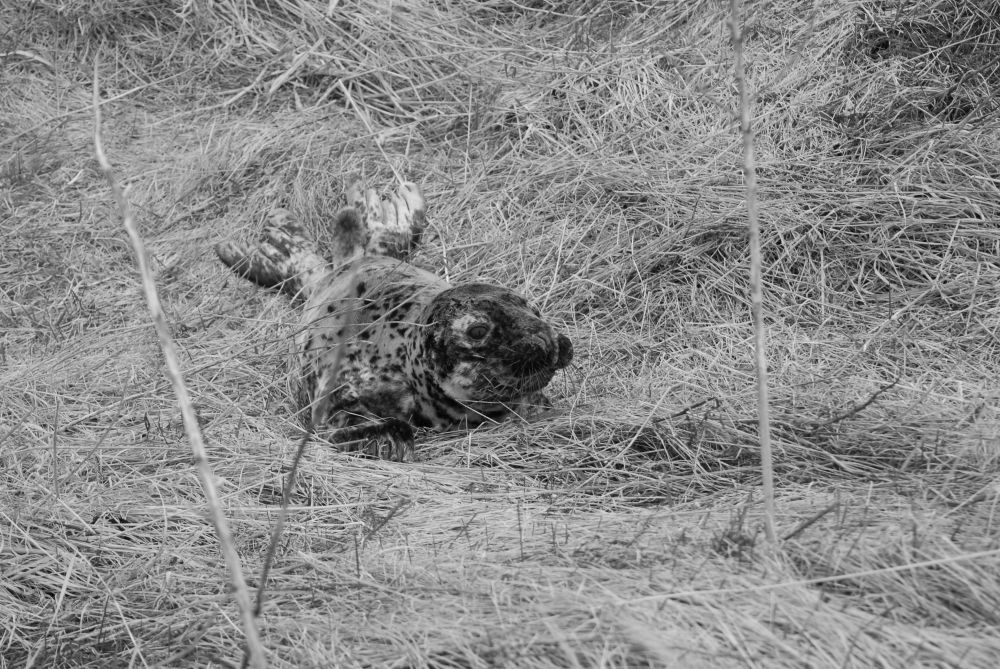"""""""YOUNG SEAL"""", by G. NEARING. Taken at Yarmouth."""