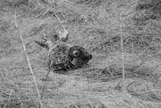 YOUNG SEAL by
