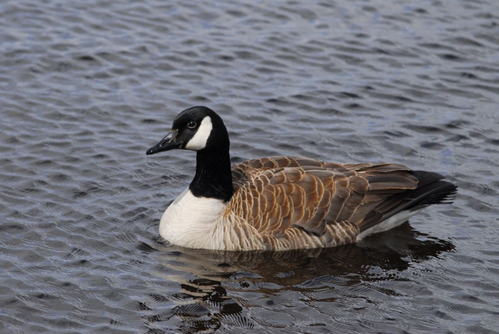 """CANADA GOOSE"", by G.NEARING. Taken at Yarmouth."