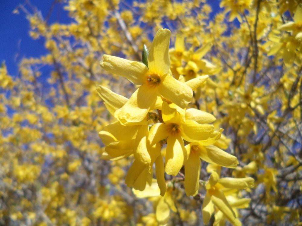 """""""Blooming Forsythia"""", by Anita Daye. Taken at Upper Lakeville, NS."""