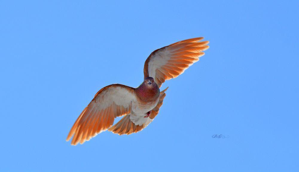"""""""Brown Rock Dove"""", by Bonnie Coughlan. Taken at Miramichi, NB."""