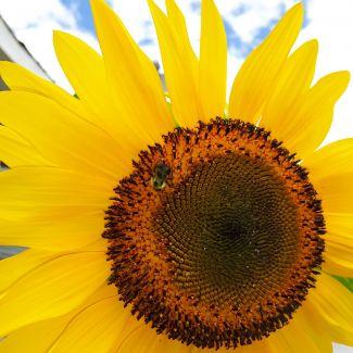 Big Sunflower by