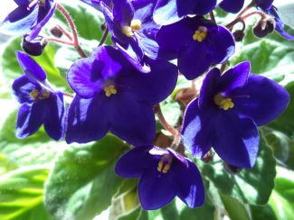 African Violet Blooms by