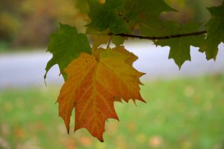 MAPLE LEAF by
