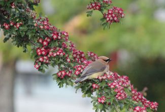 Cedar Waxwing in our Hawthorne tree by